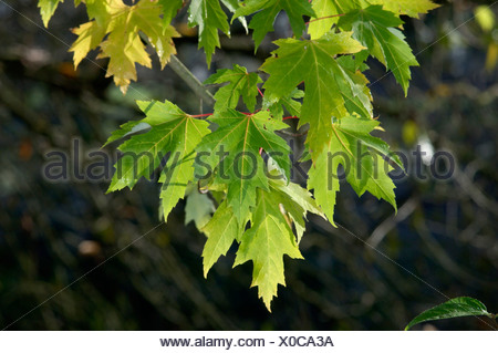 Silber Ahorn Acer Saccharinum (Aceraceae) - Stockfoto