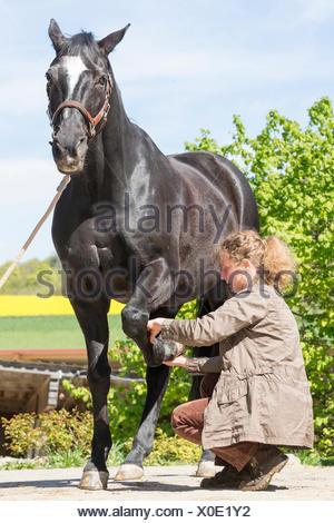 Tierarzt-Examing Bein Sehnen der Warmblüter schwarze Pferde ...