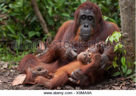 Bornean Orang-Utans (Pongo Pygmaeus Wurmbii) Mutter und Kind, Tanjung Puting Nationalpark, Borneo, Central Kalimantan, Indonesien.  Vom Aussterben bedrohte Arten. - Stockfoto