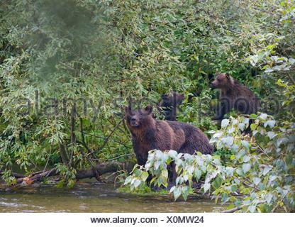 Grizzly Bär (Ursus Arctos Horribilis) Erwachsene weibliche und Nachkommen. Stockfoto