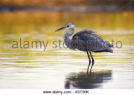 Graureiher in einem kleinen Teich wartet auf einen Fisch - Stockfoto