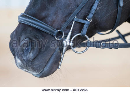 Warmblut Pferd Schwarz Erwachsene Trense Wangen - Stockfoto