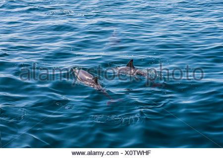 Langem Schnabel gemeine Delfine (Delphinus Capensis), Delphine beobachten, offene Meer, Atlantik, Lagos, Algarve, Portugal, Europa - Stockfoto
