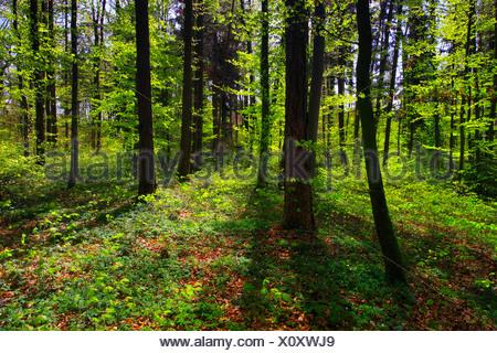 Baum, Stamm, Blatt, Blätter, Buche, Bäume, Fagus Sylvaticia L., Frühling, Laub, Wald, Laubwald, Leben, neue, Blutbuche