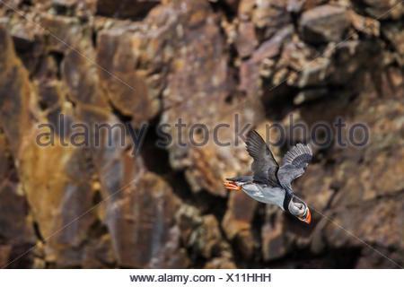 Papageitaucher (Fratercula arctica) im Flug über den Nordatlantik. Es ist der offizielle Vogel von Neufundland und Labrador seit 1992., Elliston, Neufundland und Labrador, Kanada - Stockfoto