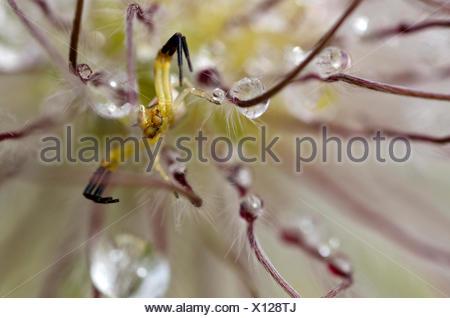 Goldrute Krabbenspinne oder Blume Krabbe Ppider (Misumena Vatia), Männlich - Stockfoto