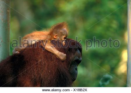 Bornean Orangutan und Baby, Indonesien - Stockfoto