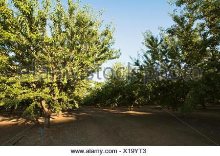 Landwirtschaft - gepflegt Reifen Mandel Obstgarten in Mitte der Saison am späten Nachmittag leichte / in der Nähe von Newman, San Joaquin Valley, Kalifornien, USA. - Stockfoto