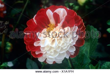 Dahlie \'York and Lancaster\' rote und weiße Blume Blumen Garten ...