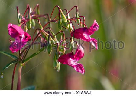 Drüsige Springkraut (Impatiens Glandulifera), Blüten und Samenkapseln, Neuling, Deutschland, Europa