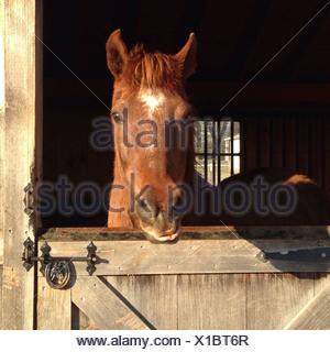 Morgan horse - Stockfoto