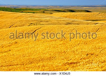 2 Zeilenfeld Gerste, Weizen-Getreide Stockfoto