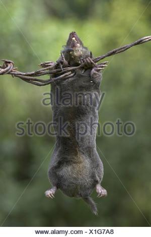 maulwurf toten europaischer talpa europaea erwachsene hangen vom stacheldrahtzaun fliegen und gefunden