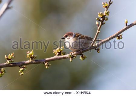 Eurasischen Feldsperling (Passer montanus) auf dem Zweig eines Kirschbaum, fuldabrueck, Hessen - Stockfoto