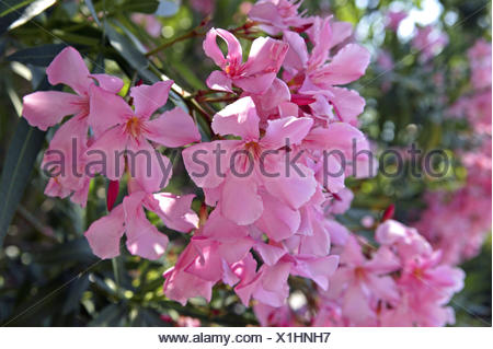 oleander nerium detail bl ten rosa au erhalb blume blumen bl ten bl te zeit der bl te. Black Bedroom Furniture Sets. Home Design Ideas