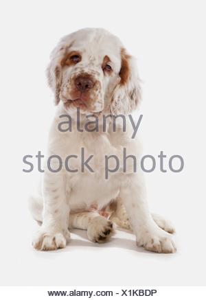 Inländische Hund, Clumber Spaniel, Welpe, sitzend - Stockfoto