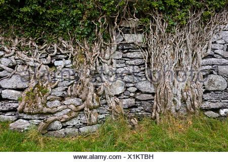 Alte Mauer, bewachsen mit Efeu Wurzeln am Ring of Kerry, Cahersiveen, Ballycarbery Castle, County Kerry, Irland Stockfoto