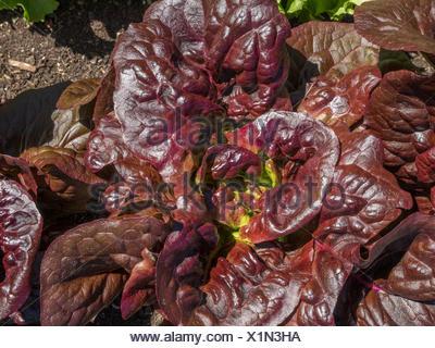Salatpflanzen In Einem Hochbeet Im Krautergarten Am Kloster