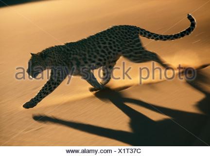 Leopard, Namib-Naukluft-Nationalpark, Namibia - Stockfoto