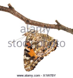 Distelfalter Schmetterling