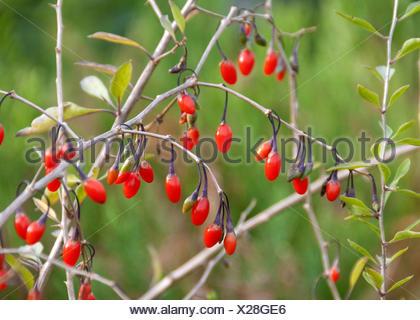 chinesische wolfsbeere gemeinsame matrimony vine goji lycium barbarum 39 sweet lifeberry. Black Bedroom Furniture Sets. Home Design Ideas