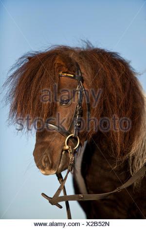 Mini-Shetlandpony, Hengst, Portrait mit englischer Zaum - Stockfoto