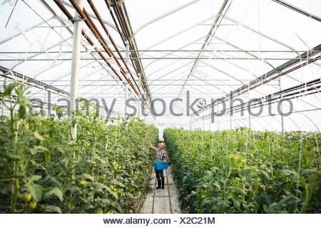 Männliche Landwirt Inspektion Tomaten Pflanzen im Gewächshaus - Stockfoto
