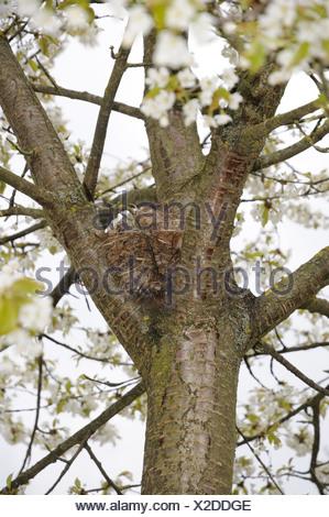 Amsel, weiblicher Vogel in einem nest - Stockfoto