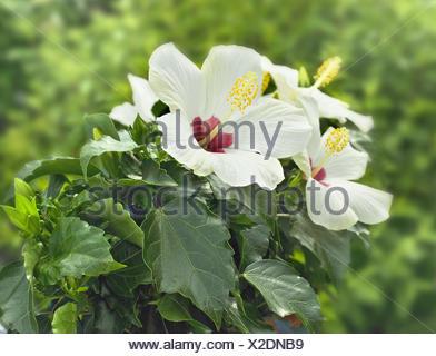 Garten, Hibiskus, Blüten, weiß-rot, Pflanzen, blühende Pflanze ...