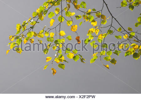 Sommer-Linde, Tilia Platyphyllos, Zweig, Blätter, - Stockfoto