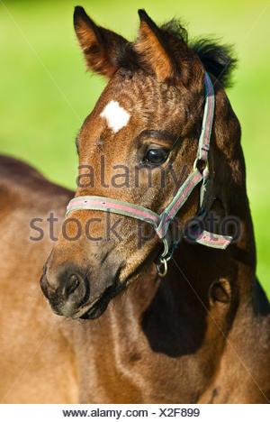 Pferd Tiere braun bräunlich Brünette Porträt Rasen grün Glanz leuchtet hell - Stockfoto