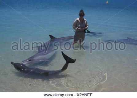 Flasche nosed Dolphin Tursips Truncatus Ranger im Wasser inmitten von wilden Delfinen Shark Bay W Aust Besuch steht - Stockfoto