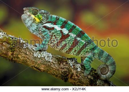 Pantherchamäleon (Furcifer Pardalis, Chamaeleo Pardalis), auf einem Ast - Stockfoto