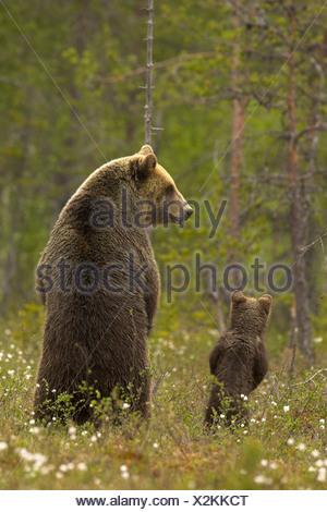 Europäischer Braunbär (Ursos Arctos) weibliche und Cub am Rande des borealen Waldes im späten Abendlicht. Finnland. - Stockfoto