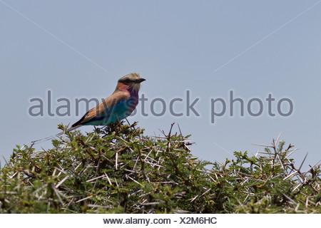 Nahaufnahme von Lilac-breasted Roller hocken auf Akazie, Lewa Downs, Kenia, Ostafrika - Stockfoto