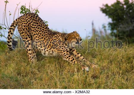 Gepard (Acinonyx jubatus) ausdehnen. Okavango Delta, Botswana, Afrika. - Stockfoto