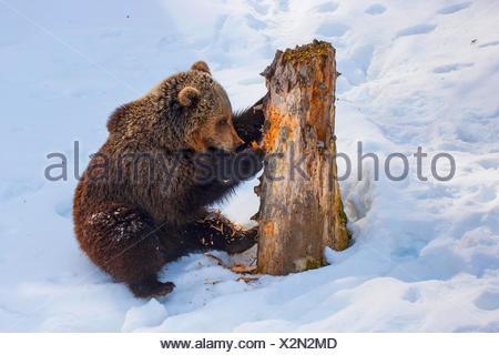 Braunbär (Ursus Arctos), juvenile Braunbär im Schnee kratzen an einem alten Baumstamm, der Schweiz, Waadt, Vallobre - Stockfoto
