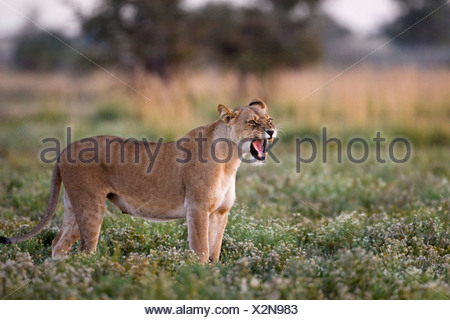 Afrika, Botswana, Löwin (Panthera Leo) Brausen Stockfoto