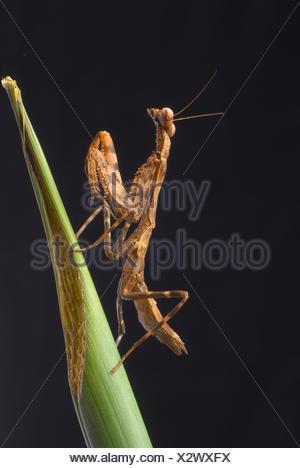 Budwing Mantis (Parasphendale Agrionina), an einem Stiel - Stockfoto