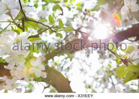 Weiße Blüten auf einem Baum im Spätsommer Stockfoto, Bild: 31101292 ...