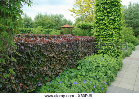 blutbuche fagus sylvatica 39 purpurea latifolia 39 fagus. Black Bedroom Furniture Sets. Home Design Ideas