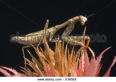 Budwing Mantis (Parasphendale Agrionina), auf einer agave - Stockfoto