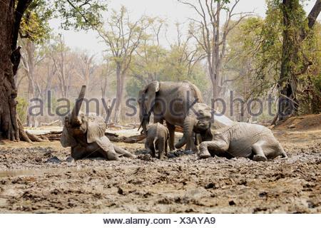 Afrikanische Elefanten Baden im Schlamm, Mana Pools, Simbabwe - Stockfoto