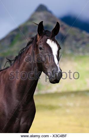 Schwarze österreichische Warmblut Pferd, Alm, Kühtai, Tirol, Österreich - Stockfoto