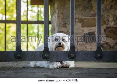 Ein Kleiner Weißer Hund Liegt Hinter Sehr Massiven Gitterstäben. - Stockfoto
