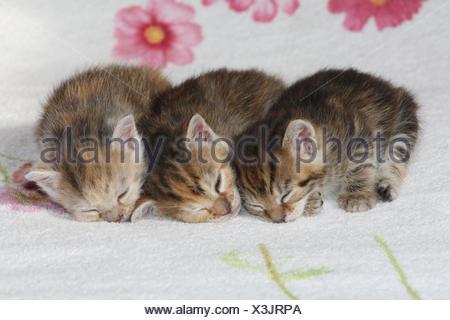 Katzen, junge, liegen, schlafen, zusammen, Bett, Tiere, Säugetiere, Haustiere, kleine Katzen, Felidae, zähmt, Haus Katze, Jungtier, Kätzchen, drei Geschwister, klein, ungeschickt, unbeholfen, hilflos, süß, Seite um Seite, kuscheln, gestreift, Liebe, Müdigkeit, Naht, Zweisamkeit, junge Tiere, Tierbabys, innen,