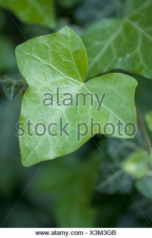 gemeinsamen Efeu, Hedera helix Stockfoto