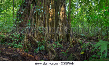 Würgefeige (Ficus sp) riesige Luftwurzeln, Corcovado Nationalpark, Halbinsel Osa, Costa Rica, Digital genäht Panoramic Image. - Stockfoto