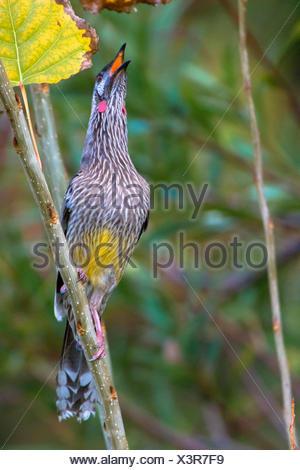 roten Flechtwerk Vogel (Anthochaera Carunculata), aufsieht, Australia, Western Australia - Stockfoto