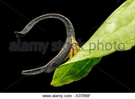 Treehopper (Cladonota SP.), Größe 4mm, Anden Nebelwald, Mindo, Ecuador Stockfoto